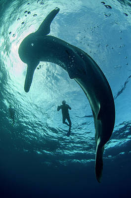 Whale Shark And Tourist Print by Pete Oxford