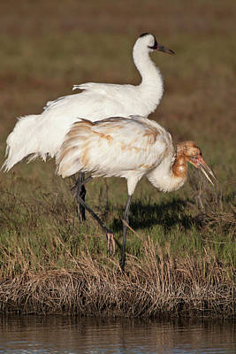 Ditto Photograph - Whooping Crane (grus Americana by Larry Ditto