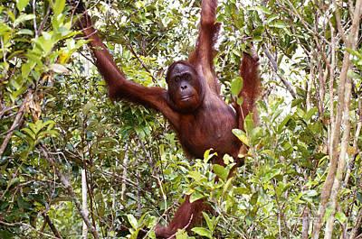 Indonesian Wildlife Photograph - Wild Orangutan by Art Wolfe