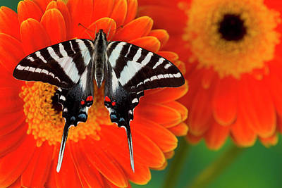 Zebra Swallowtail Butterfly, Eurytides Print by Darrell Gulin