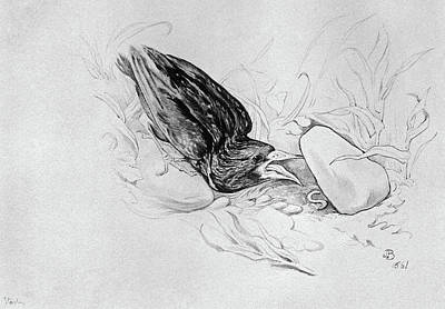 Starlings Drawing - Blackburn Birds, 1895 by Granger