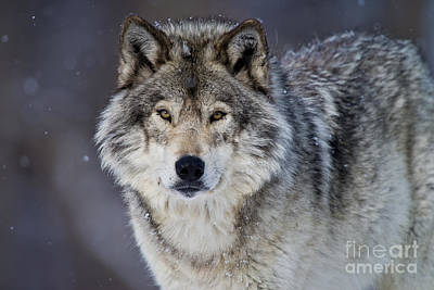 Black. Timber Wolf Photograph - Timber Wolf by Michael Cummings