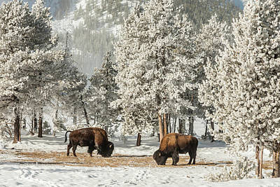 Usa, Wyoming, Yellowstone National Park Print by Jaynes Gallery