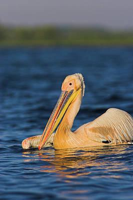 Net Photograph - Great White Pelican (pelecanus by Martin Zwick