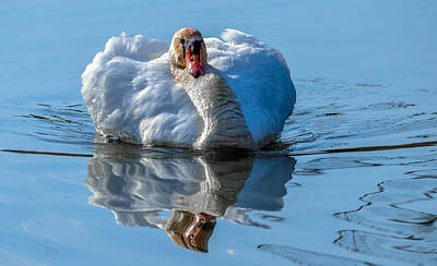 Mute Swan Print by Brian Stevens