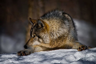 Dogs Photograph - Timber Wolf Pictures by Michael Cummings