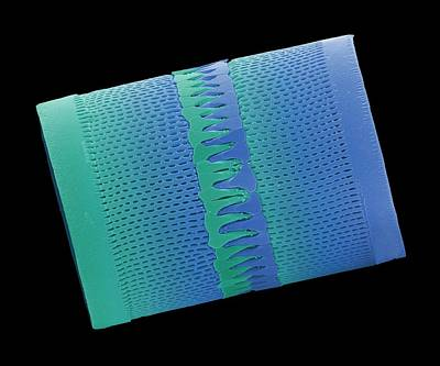 Striae Photograph - Diatom by Steve Gschmeissner
