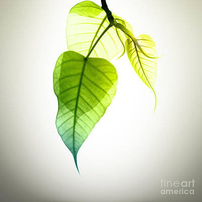 Growth Photograph - Pho Or Bodhi by Atiketta Sangasaeng