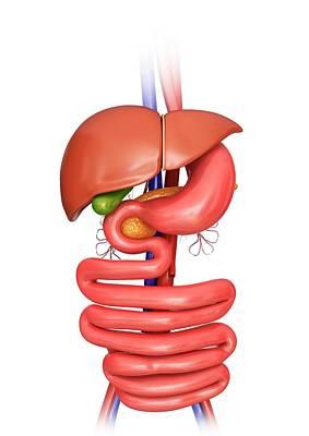 Internal Organs Photograph - Human Internal Organs by Pixologicstudio