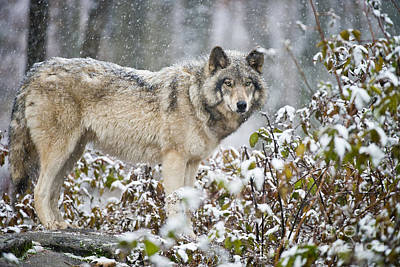Wolf Photograph - Timber Wolf by Michael Cummings