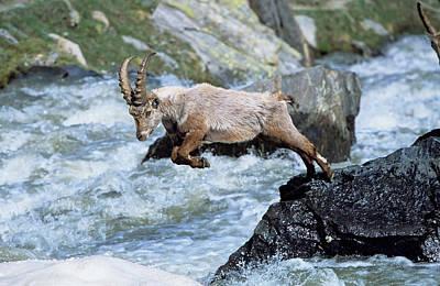 Alpine Ibex (capra Ibex Print by Martin Zwick