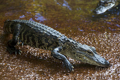 Alligator Photograph - American Alligator by Mark Newman