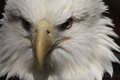 Photograph - American Bald Eagle by Paulette Thomas