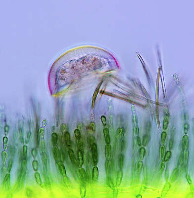 Unicellular Alga Photograph - Amoeba by Marek Mis