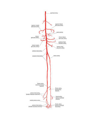 Arterial System Of The Leg Print by Asklepios Medical Atlas
