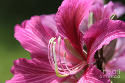 Pinks And Purple Petals Photograph - Bauhinia Blakeana - Hong Kong Orchid - Hawaiian Orchid Tree  by Sharon Mau