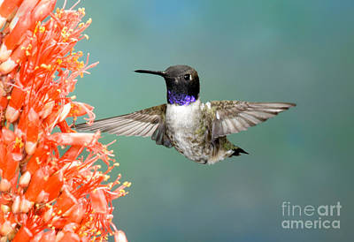 Nectaring Bird Photograph - Black-chinned Hummingbird by Anthony Mercieca