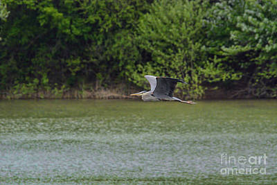 River Scenes Photograph - Blue Heron In Flight by Jai Johnson