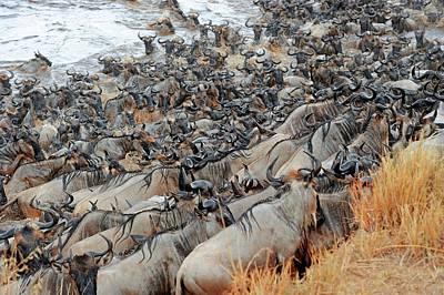 White Beard Photograph - Blue Wildebeest Migration by Bildagentur-online/mcphoto-schulz