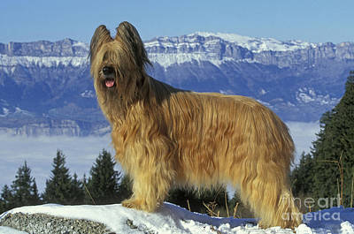 Dog In Snow Photograph - Briard Dog by Jean-Michel Labat