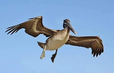 Brown Pelican In Flight Print by Paulette Thomas