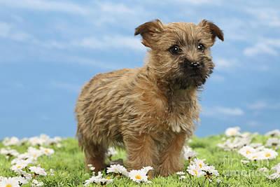 Cairn Terrier Photograph - Cairn Terrier Puppy Dog by Jean-Michel Labat