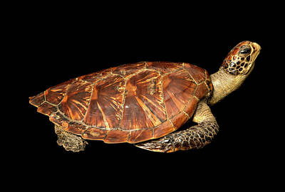 Green Sea Turtle Photograph - Chelonia Mydas by Natural History Museum, London