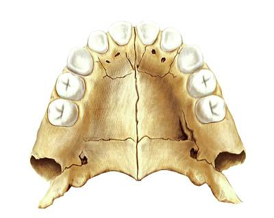 Child's Teeth Print by Asklepios Medical Atlas