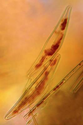 Diatoms Print by Marek Mis
