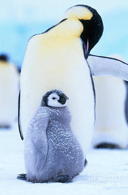 Penguin Photograph - Emperor Penguins by Art Wolfe