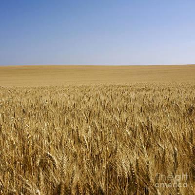 Field Of Wheat Print by Bernard Jaubert