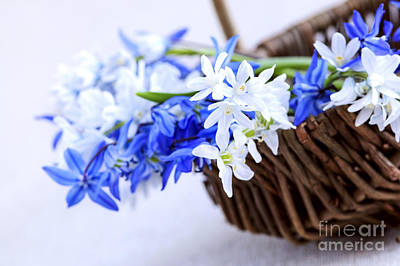 Bluebells Photograph - First Spring Flowers by Elena Elisseeva
