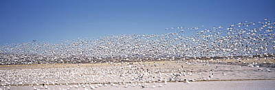 Of Birds Photograph - Flock Of Snow Geese Flying, Bosque Del by Panoramic Images