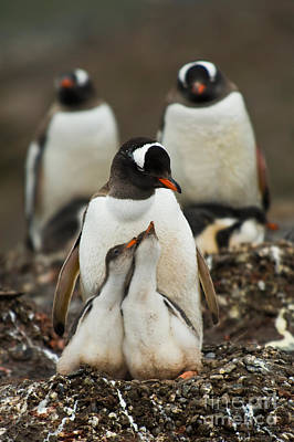Antartica Photograph - Gentoo Penguin With Young by John Shaw