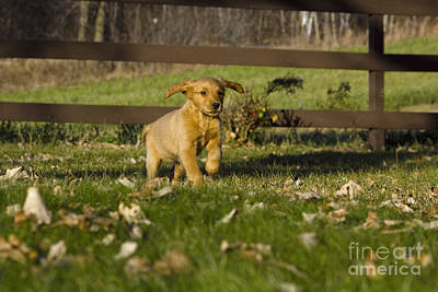 Golden Retriever Pup Print by Linda Freshwaters Arndt