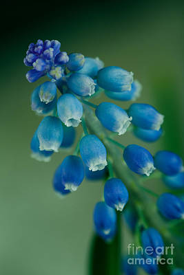 Grape Hyacinth Print by Nailia Schwarz