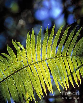 Cibotium Photograph - Hapuu Fern by G. Brad Lewis