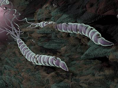 Helicobacter Pylori Photograph - Helicobacter Pylori Bacteria by Hipersynteza