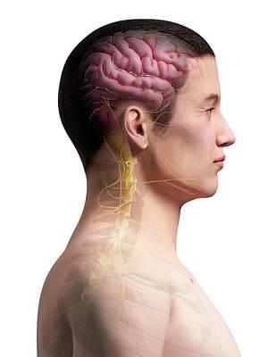 Human Internal Organ Photograph - Human Brain by Sebastian Kaulitzki