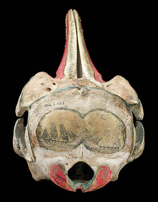 Ink Scrimshaw On Dolphin Skull Print by Natural History Museum, London