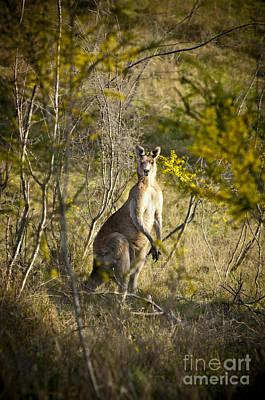 Kangaroo Photograph - Kangaroo by Tim Hester