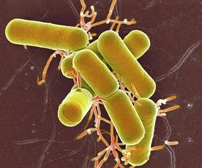 Lactobacillus Bacteria Print by Science Photo Library