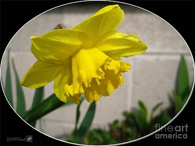 Mccombie Mixed Media - Large-cupped Daffodil Named Carlton by J McCombie
