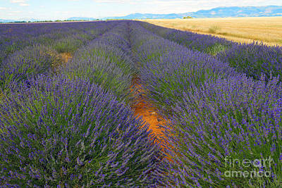 Lavender Field, French Provence Print by Adam Sylvester