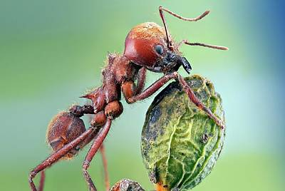 Central American Wildlife Photograph - Leafcutter Ant by Nicolas Reusens