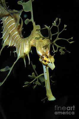 Leafy Sea Dragon Photograph - Leafy Seadragon by Gregory G. Dimijian