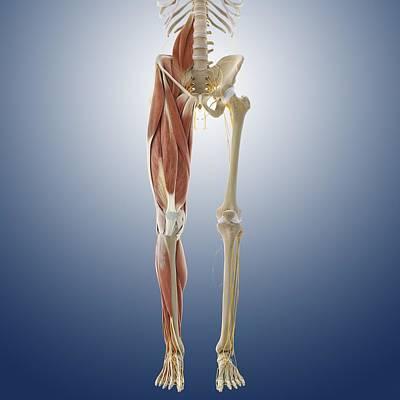 Lower Body Anatomy, Artwork Print by Science Photo Library