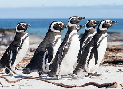 Marching Band Photograph - Magellanic Penguin (spheniscus by Martin Zwick
