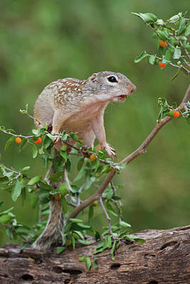 Ditto Photograph - Mexican Ground Squirrel (spermophilus by Larry Ditto