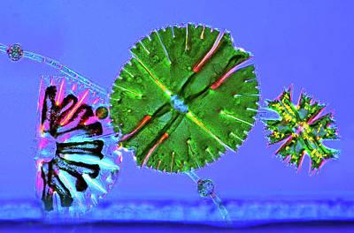 Algal Photograph - Micrasterias Desmids by Marek Mis